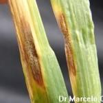 Septoria tritici Rob ex Desm; Mancha salpicada o septoriosis de la hoja