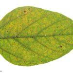 12 Síntomas de la roya de la soja, causados por Phakopsora pachyrhizi en folíolos de soja. Autor: Dirceu Gassen