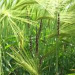 Ustilago tritici (Pers.) Rostr. (Syn Ustilago nuda var. tritici); Carbón volador
