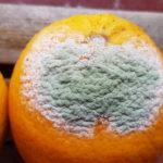 08 Moho verde (Penicillium spp) en naranja. Autor: Ing. Francisco Sautua