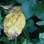 Septoria glycines, Mancha Marrón de la soja