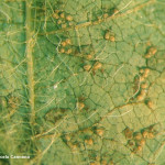 Phakopsora pachyrhizi Sydow & Sydow; Roya asiática de la soja (RAS)