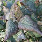 Cercospora kikuchii (T. Matsu & Tomoyasu) Gardner; Tizón morado de la hoja y mancha púrpura de la semilla de la soja