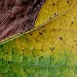 Phyllosticta sojicola  C. Massal.; Mancha foliar en soja por Phyllosticta