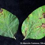 Pseudomonas savastanoi pv. glycinea (Coerper) Gardan; Tizón bacteriano de la soja