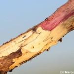 Phomopsis sojae (teleomorfo Diaporthe phaseolorum var. sojae); Tizón de la vaina y el tallo y podredumbre de semillas de la soja