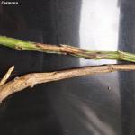 Cancro del tallo de la soja
