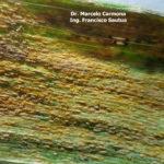 34 Uredosoros con uredosporas de Pst en hojas de trigo. Fontezuela, Bs. As., 2017/2018, variedad DM Algarrobo.