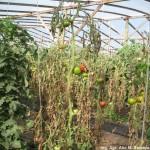 Síntomas del cancro bacteriano del tomate