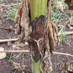Alternaria helianthi (Hansf.) Tubaki & Nishihara, causante de la mancha de la hoja (MHA)