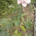 Mancha negra del Rosal