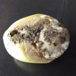 Botrytis cinerea Pers.:Fr.; Podredumbre gris en Fruto