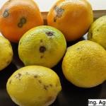 Síntomas de cancrosis de los cítricos en fruto