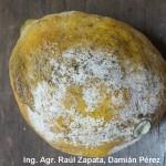 Síntomas de Penicillium digitatum en limón