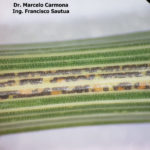 84 Teleutosoros de Pst en vainas de trigo. Fontezuela, Bs. As., 2017/2018, variedad DM Algarrobo.