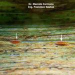 86 Mycodiplosis spp alimentándose de uredinosporas de Pst en hojas de trigo (Insect mycophagy). Fontezuela, Bs. As., 2017/2018, variedad DM Algarrobo.