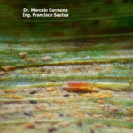 87 Mycodiplosis spp alimentándose de uredinosporas de Pst en hojas de trigo (Insect mycophagy). Fontezuela, Bs. As., 2017/2018, variedad DM Algarrobo.