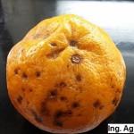 Peca de la mandarina