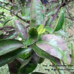 Fumagina en hojas
