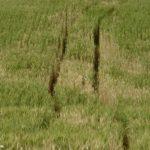 Campo de trigo afectado por la Fusariosis de la espiga del trigo, causada por Fusarium graminearum. Autor: Dirceu Gassen