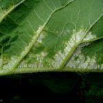 05 Signo del Mildew del girasol, causado por Plasmopara halstedii. Autor: Dirceu Gassen