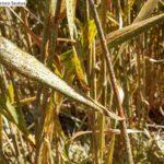 4 Puccinia graminis f.sp. tritici. Pergamino, Noviembre 2015, Variedad Baguette 601
