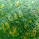 Pustula Bacteriana causada por Xanthomonas spp. Autor: Direceu Gassen