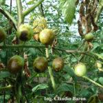 Síntomas de peste negra en frutos de tomate Cherry híbrido Koyi (sin resistencia genética), zona de La Plata, bajo invernadero, durante enero. Autor: Ing. Claudio Baron.