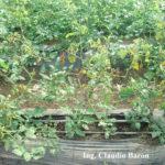 Síntomas de peste negra en tomate Cherry híbrido Koyi (sin resistencia genética), zona de La Plata, bajo invernadero, durante enero. Autor: Ing. Claudio Baron.