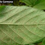 Esporulación (uredosoros con uredosporas) de Phakopsora pachyrhizi en hoja de soja.