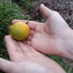 12 Frutos de plantas con HLB. Sintoma tipico de maduración invertida.