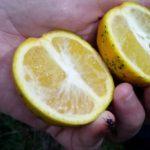 13 Frutos de plantas con HLB. Columnela de color naranja o amarillo fuerte.