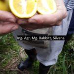14 Frutos de plantas con HLB. Columnela de color naranja o amarillo fuerte.