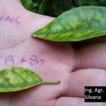 23 Comparación síntomas de HLB y Deficiencia de Zinc