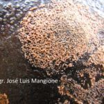 4 Colletotrichum gloeosporioides (Penz.) Penz. y Sacc. en Palto (Persea americana Mill.)
