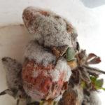 02 Botrytis cinerea creciendo sobre frutilla