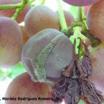 01 Esporulación (signo) de Botrytis cinerea en uva, Mendoza. Autor: Ing. MSc. Mariela Rodriguez Romera.