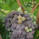 02 Esporulación (signo) de Botrytis cinerea en racimos de uva a campo, Mendoza. Autor: Ing. MSc. Mariela Rodriguez Romera.
