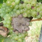 03 Esporulación (signo) de Botrytis cinerea en racimos de uva a campo, Mendoza. Autor: Ing. MSc. Mariela Rodriguez Romera.