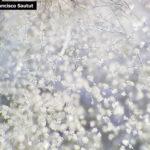 04 Conidios de Botrytis cinerea en arándano