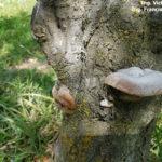 03 Fructificación (basidiocarpo) del hongo causante de las caries en árbol de ciruelo.