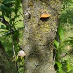 04 Árbol de ciruelo con basidiocarpos (fructificaciones) de hongos causantes de las caries.