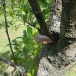 05 Fructificación (basidiocarpo) del hongo causante de las caries en árbol de ciruelo.