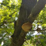 10 Fructificación (basidiocarpo) del hongo causante de las caries en árbol de ciruelo.