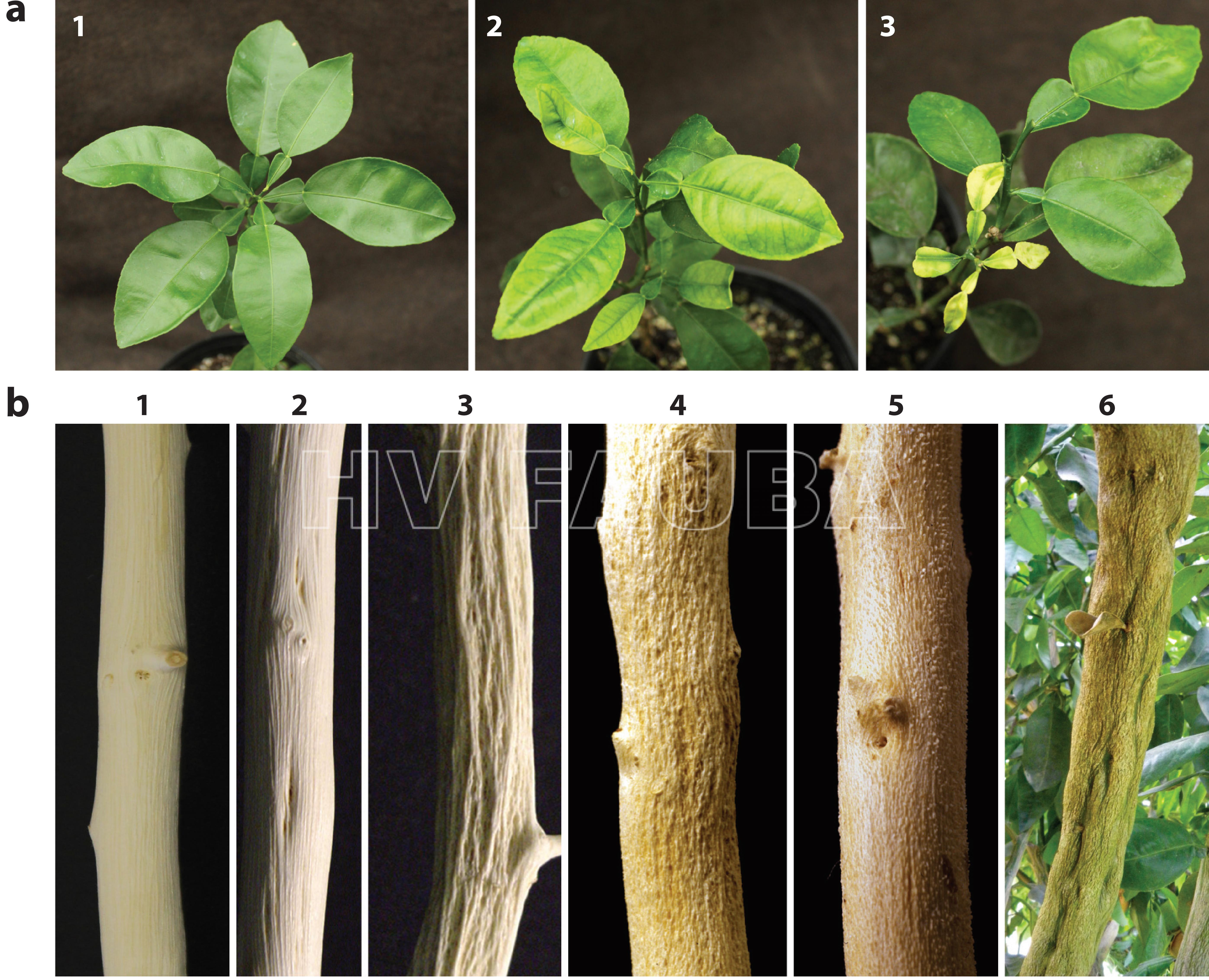 """Síntomas de la Tristeza de los Cítricos causados por el virus Citrus tristeza (CTV). (a) Una serie que muestra los síntomas en plántulas amarillentas: (1) planta sana; (2) plántulas con amarillos moderados; y (3) plántulas con amarillos severos.  (b) Síntomas de """"Stem-pitting"""" en tallos con la corteza eliminada (1-5): (1) sano; (2, 3, 4) picaduras leves, moderadas y severas; (5) picadura inversa; y (6) pozos de tallo lo suficientemente grandes como para detectarse a través de la corteza. Fuente: Dawson et al. (2015)."""