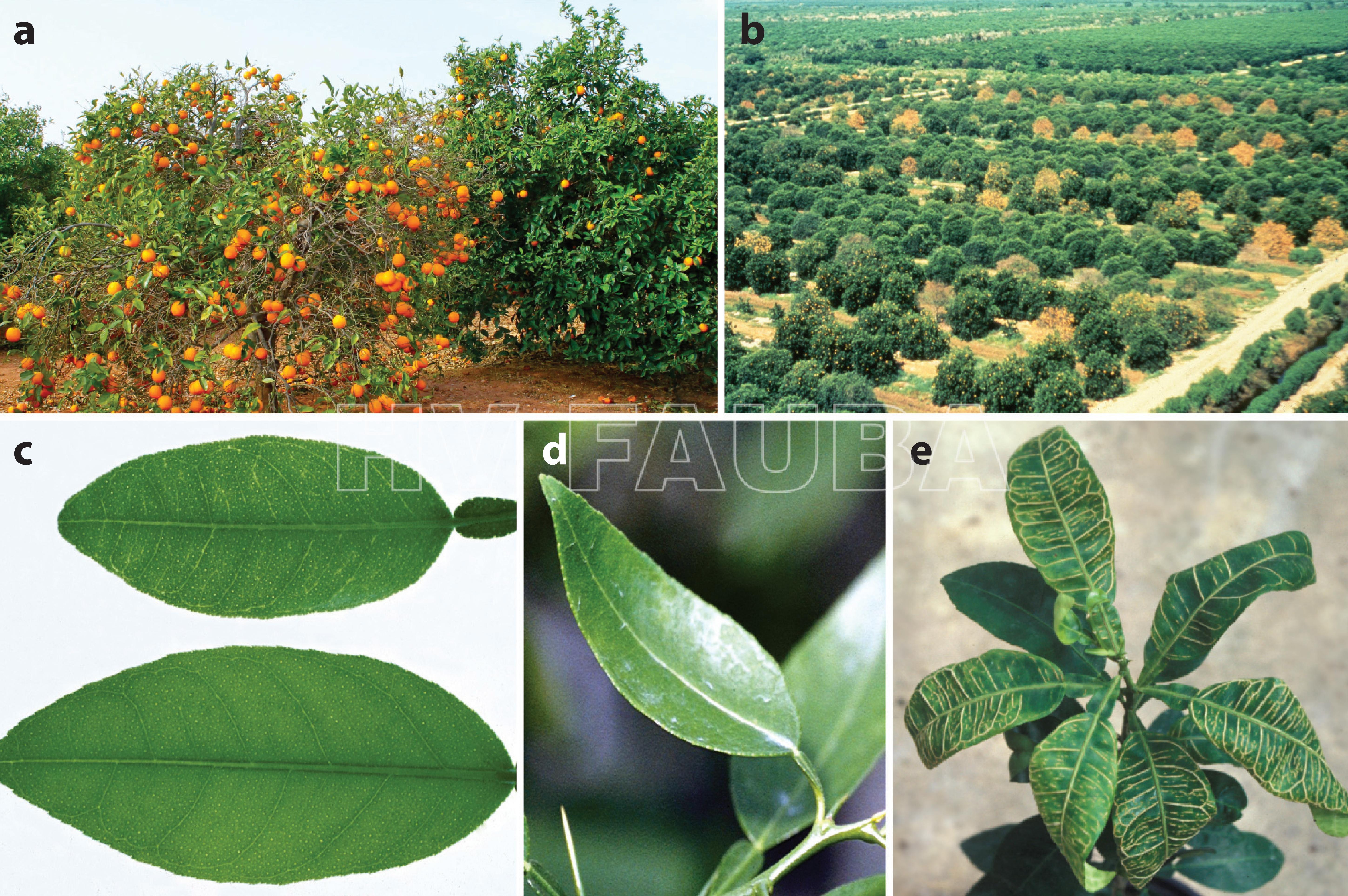 Síntomas de la enfermedad causados por el virus Citrus tristeza (CTV). (a) Un árbol que exhibe decaimiento. (b) Un campo con árboles en decaimiento. (c) Aclaramiento de nervaduras en la hoja superior. (d) Ahuecamiento de hojas. (e) Taponamiento de venas. Fuente: Dawson et al. (2015)