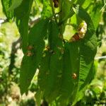 31 Síntomas foliares del Torque del duraznero causado por Taphrina deformans.