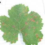 03 Síntomas del Mildew de la Vid, causado por Plasmopara viticola. Autor: Ing. Agr. Mariela Rodriguez